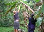 Plukker bananer på Niue